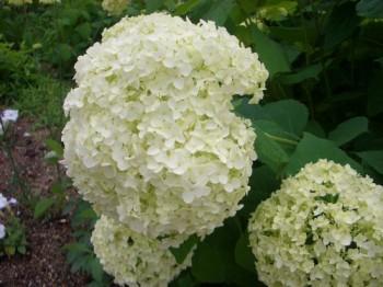 白いあじさいの花