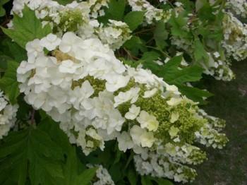 6月の代表的な花、紫陽花