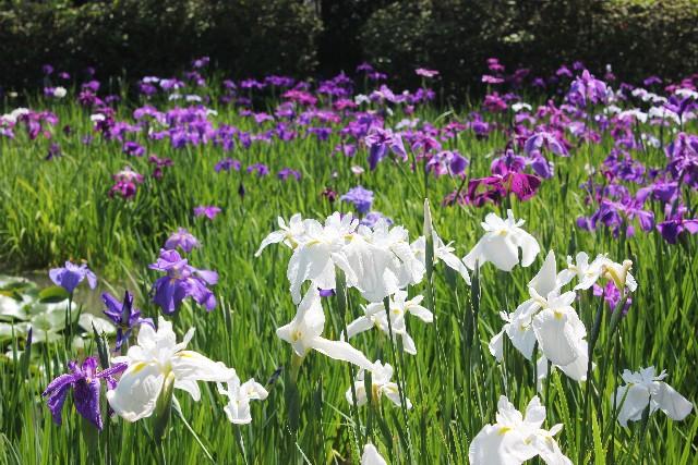 あやめや花しょうぶの見頃は?あやめ園、菖蒲園を紹介します。