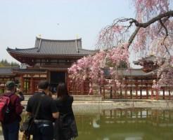 平等院鳳凰堂と枝垂れ桜