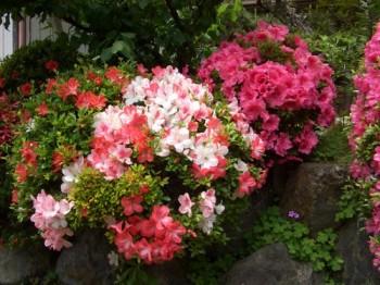 5月の代表的な花 ツツジ