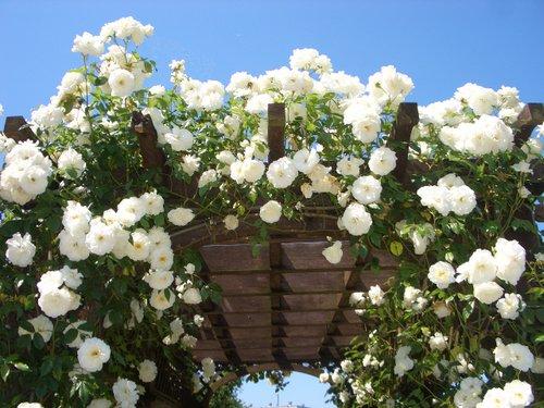 バラ園の見頃は?バラの種類と見どころを紹介します。