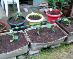 家庭菜園用夏野菜の苗選び
