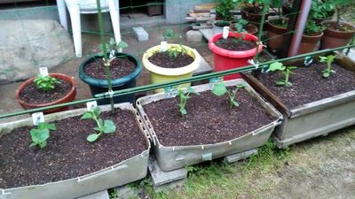家庭菜園用夏野菜の苗選び?思わず買いたくなるキャッチコピー集