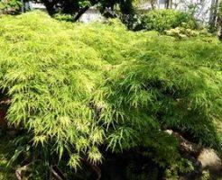 新緑が鮮やかな枝垂れもみじ