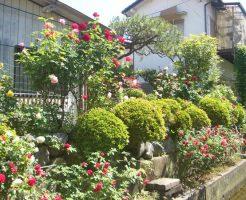 我家の庭に咲くバラが満開中