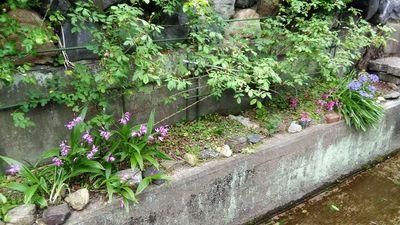 つるバラ、ブレーズの株元雑草処理で映えるカタバミと紫蘭