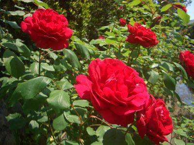 つるバラの花、ブリーズ