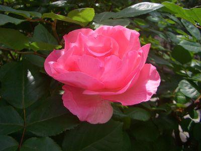 バラの花、クイーン・エリザベス