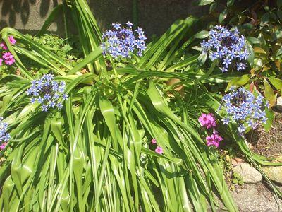 オオツルボの花