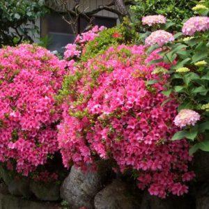 サツキの花画像比較で強剪定の時期や咲かない原因を検証してみました