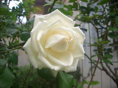 つるバラの花、新雪