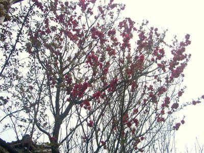 珍しい早咲き2色桜