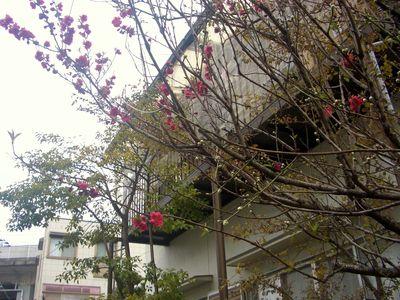 濃いピンクと白の桜の花