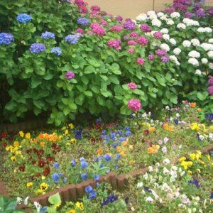 梅雨空に映える色とりどりの紫陽花が見頃です!種類別画像集です