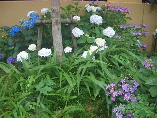 白紫陽花と紫額紫陽花