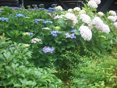 白紫陽花と青額紫陽花