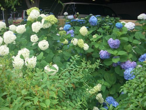白紫陽花と青紫陽花