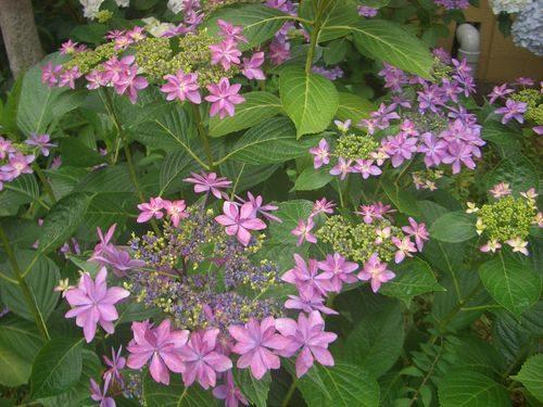 ピンクの額紫陽花