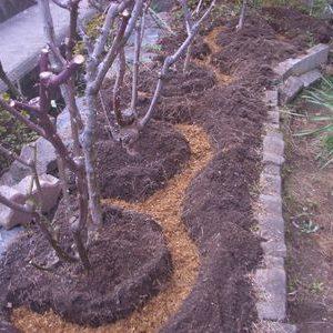 休眠中庭植えバラの寒肥作業と鉢植えバラの植え替え作業