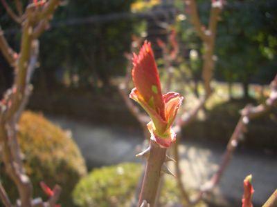 アブラムシ付き出した新芽