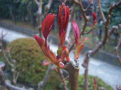 新芽の芽かき