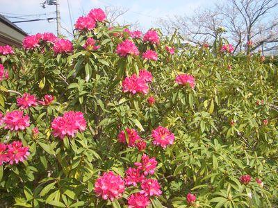 西洋シャクナゲの花