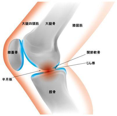 ひざ関節の仕組み