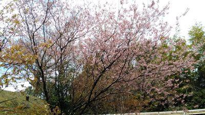 公園に咲いているピンクの早咲き桜