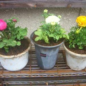 眼に鮮やかな草花、ラナンキュラスの衝動買いと育て方