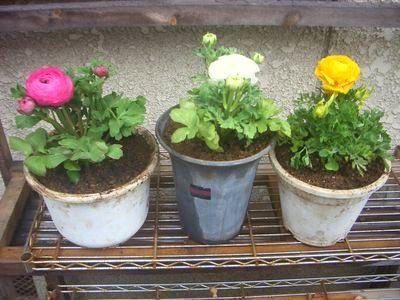 鮮やかな草花、ラナンキュラス