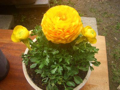 植替え10日後の黄色いラナンキュラス