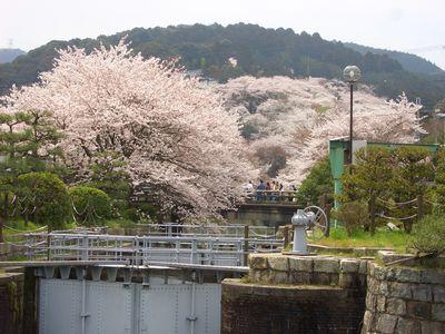 琵琶湖疏水の桜と三井寺
