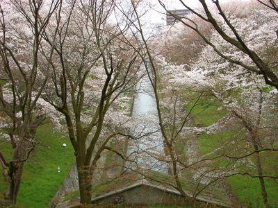琵琶湖疏水沿いの桜