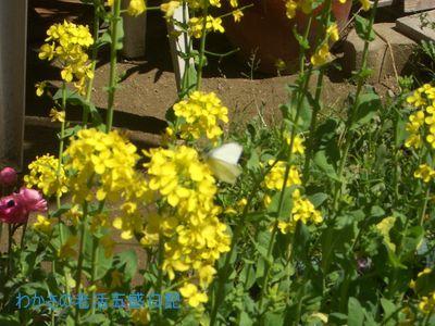 菜の花とモンシロチョウ