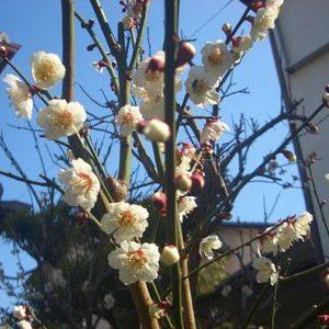 庭の梅の木をマシン油でカイガラムシ駆除